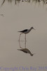 blackwingedstilt291661