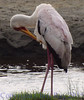 yellowbilledstork291692