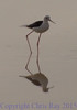 blackwingedstilt291662