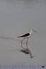 blackwingedstilt281474