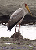 yellowbilledstork291693