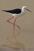 blackwingedstilt291674
