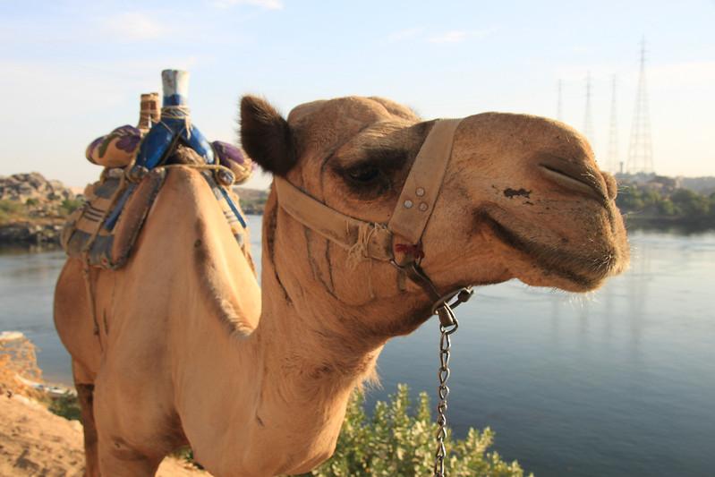 Camel in Upper Egypt