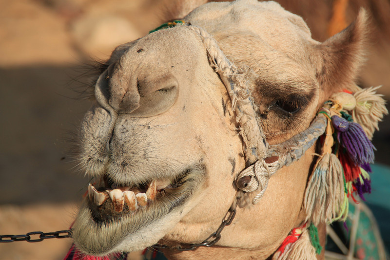 my camel smiles - camel ride to Nubian village