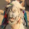 my camel smiles - camel ride to Nubian village
