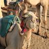 my camel - camel ride to Nubian village