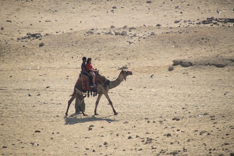Camel - Pyramids at Giza