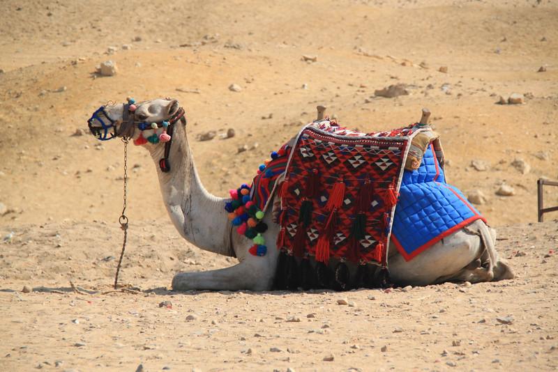 camel - horse carts - Pyramids at Giza