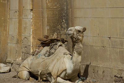 Camel resting near the Pyramid - Giza, Egypt