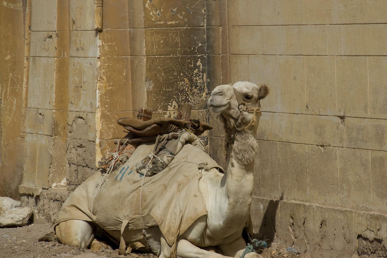 Camel resting near the Pyramid - Giza, Egypt