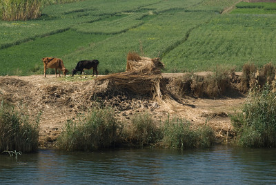 Cows on River Bank of Nile - Nile, Egypt