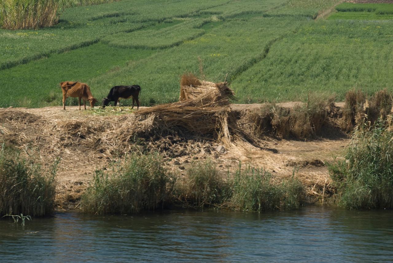 Cows on River Bank of Nile - Nile, Egypt