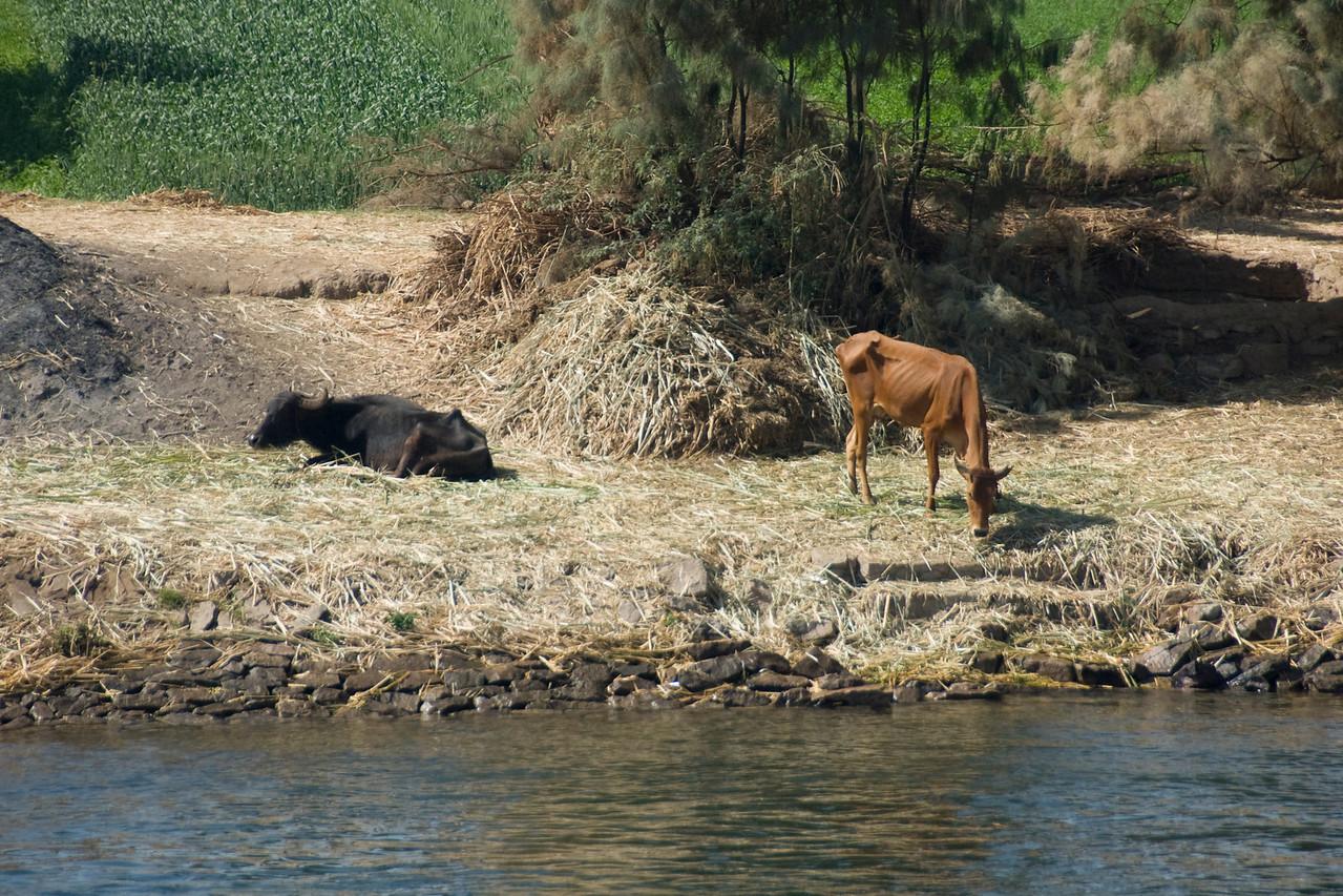 Cows feeding along the river bank of Nile - Nile, Egypt