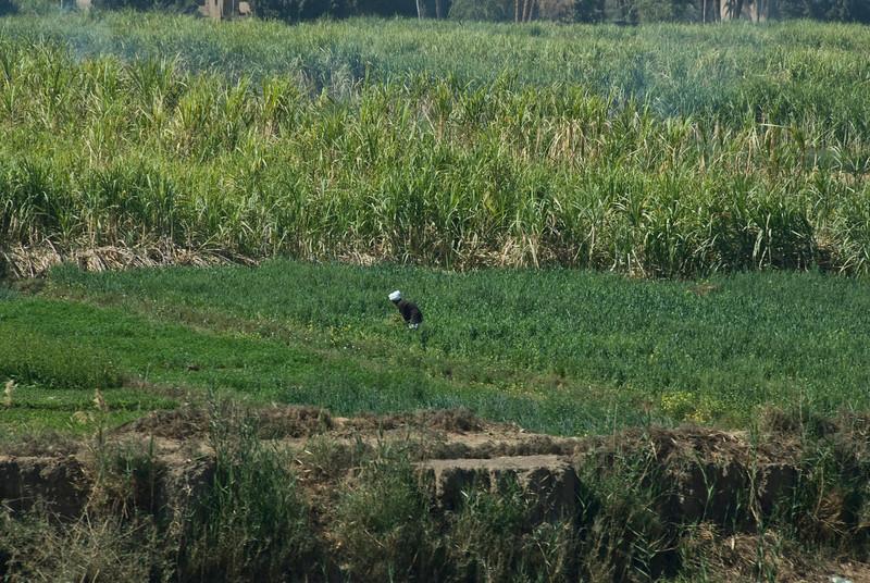 Farmer working on a rice field near the Nile River - Nile, Egypt