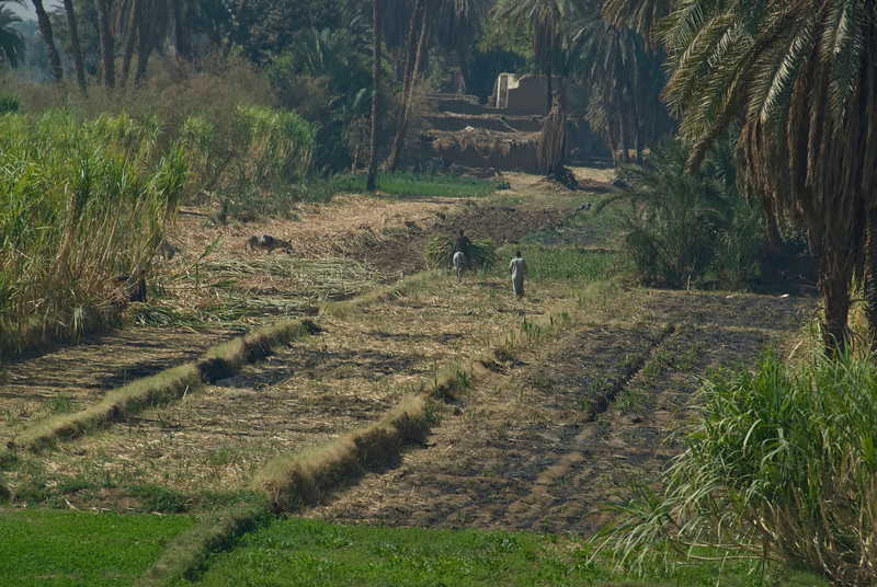 Farmers working on a rice field - Nile, Egypt
