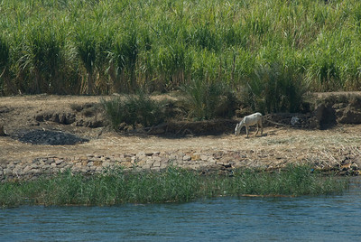 Goat feeding on grass along the river bank - Nile, Egypt