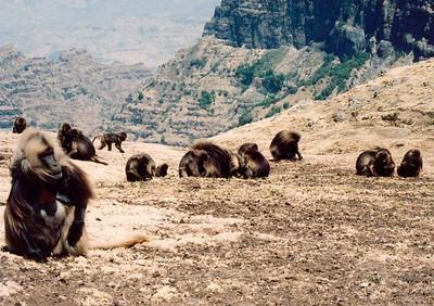 Gelada baboon troop, Simien Mountains NP