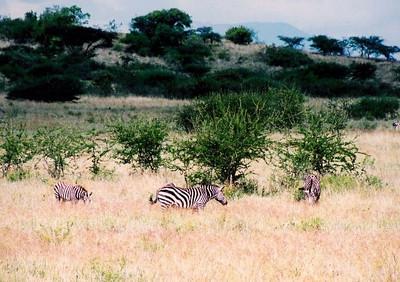 Zebras, Nechisar NP