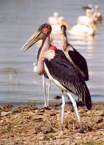 Maribu storks, Ziway Lake