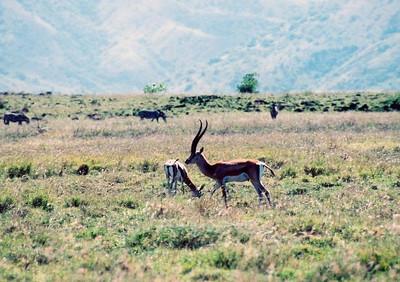 Grant's gazelle, Nechisar NP