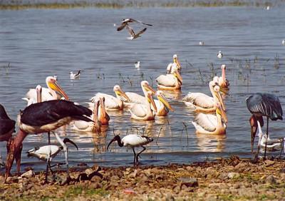 Pelicans, Ziway Lake