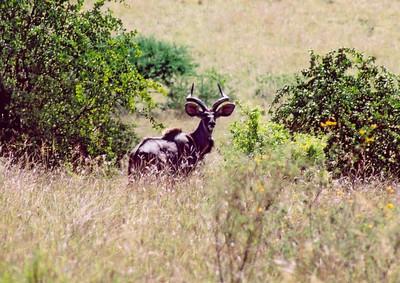 Kudu, Nechisar NP