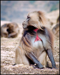 Gelada baboon, Simien Mountains NP