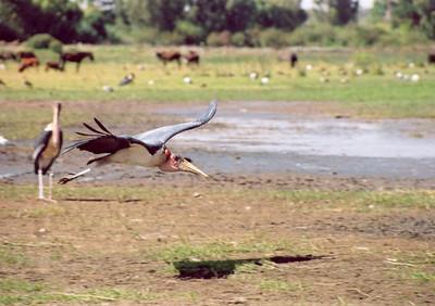 Maribu stork, Ziway Lake