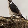 Augur buzzard