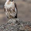 Mountain buzzard
