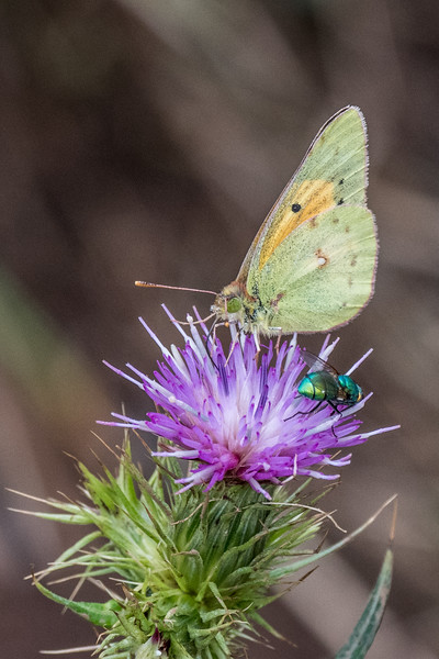 African clouded yellow butterfly on Thistle