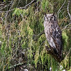 Verreaux's eagle-owl
