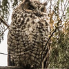 Abyssinian owl