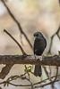Northern black flycatcher
