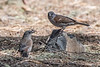 Swainson's sparrows