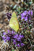 African clouded yellow butterfly on Thyme