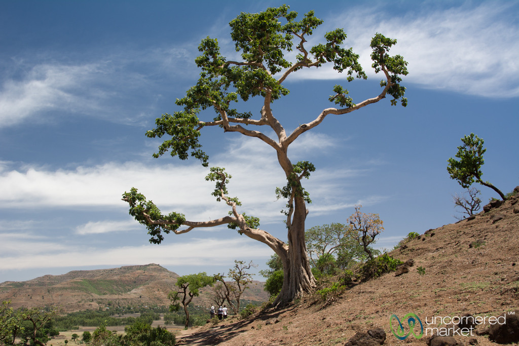 Tall Tree Along Path to Blue Nile Falls - Bahir Dar, Ethiopia