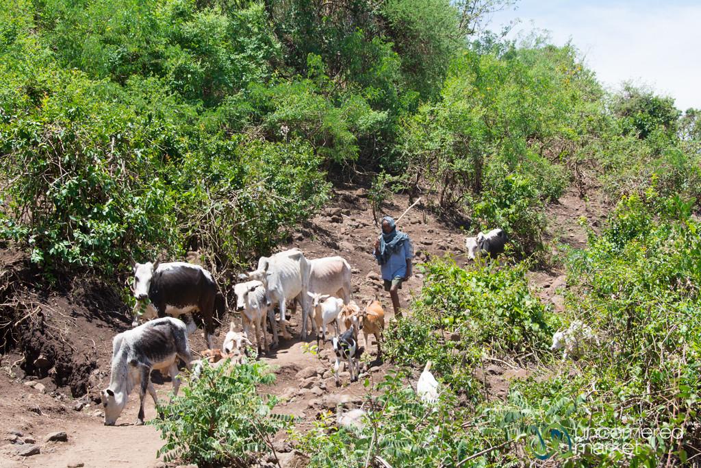 Shepherd Takes His Animals to Blue Nile Falls - Bahir Dar, Ethiopia