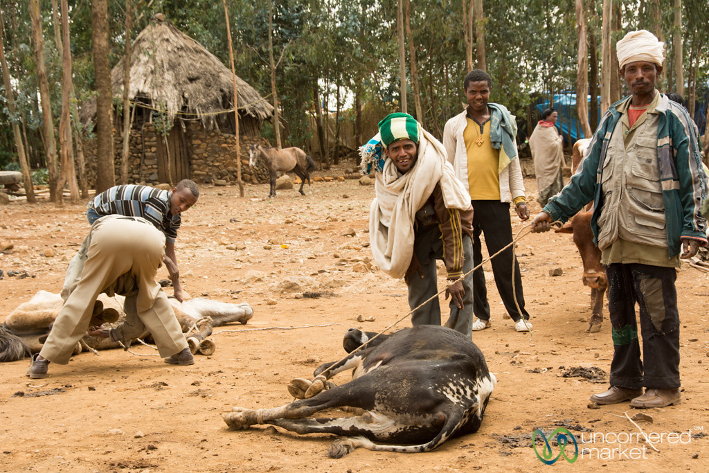 Homeopathic Cow Care at Market - Lalibela, Ethiopia