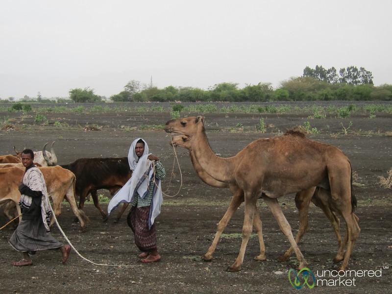 Ethiopian Camels en Route to Mekele, Ethiopia