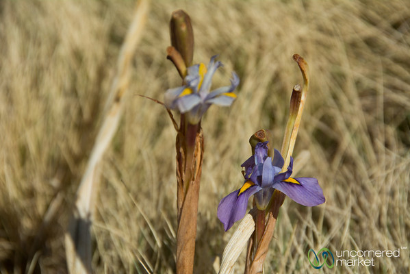 Wild Orchids in the Simien Mountains, Ethiopia