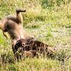 Gelada Baboons Babies Playing