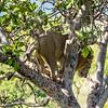 Male Lion in a Tree