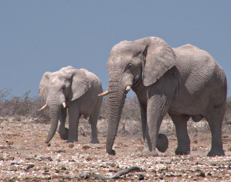 Elephants.  The same group returned to Nebrowni the second day.