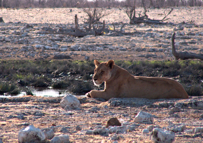 Lion.  I saw lions on three separate visits to Rietfontein waterhole--one male with a kill, a mating pair, and then on my last morning a group of at least twelve.