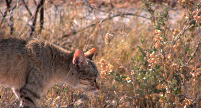 African wildcat.  I had never seen one of these before, and was lucky enough to see three during this trip to Etosha.