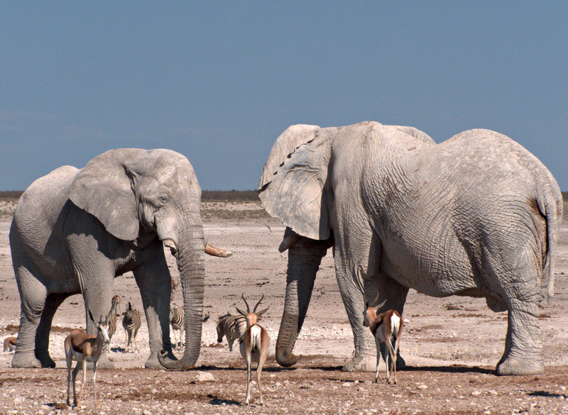 Elephants squaring off