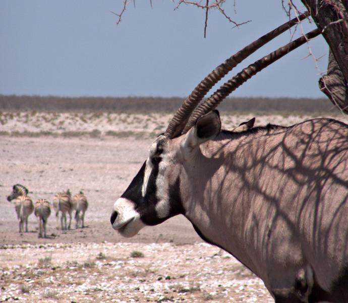 Gemsbok and zebras