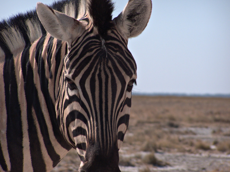 Zebra, near King Nehale gate.  I rented a car at Ondangwa and drove to Etosha the day after I had crossed the border from Angola.  Within minutes I had seen hundreds of animals.