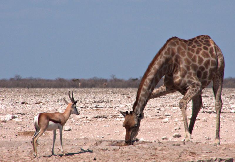 Springbok and giraffe